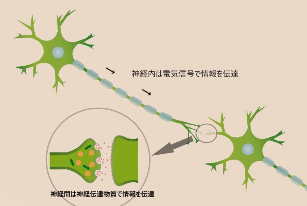 神経の情報の伝わり方